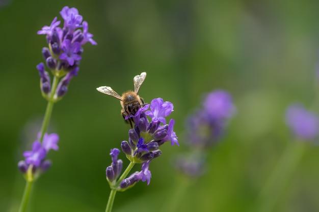 Close de uma abelha sentada em uma alfazema roxa Foto gratuita