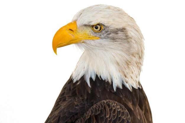 Close de uma águia majestosa em um fundo branco Foto gratuita
