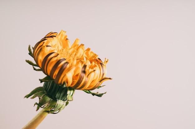 Close de uma flor amarela em um fundo branco Foto gratuita