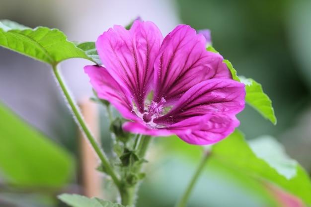 Close de uma linda flor de malva Foto gratuita