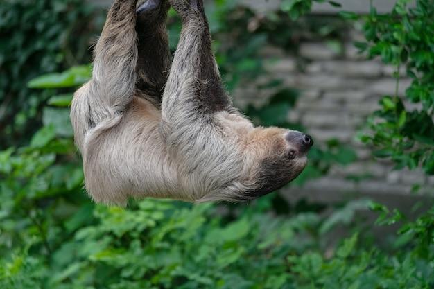 Close de uma preguiça de dois dedos pendurada em uma corda cercada por vegetação em um zoológico Foto gratuita