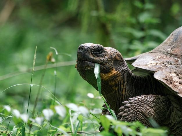 Close de uma tartaruga de galápagos Foto gratuita