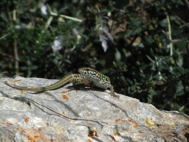 Close do lagarto da parede de malta em uma rocha sob a luz do sol em malta Foto gratuita