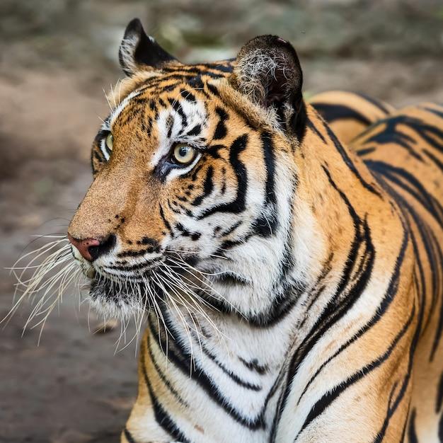 Close do rosto de um tigre. Foto Premium