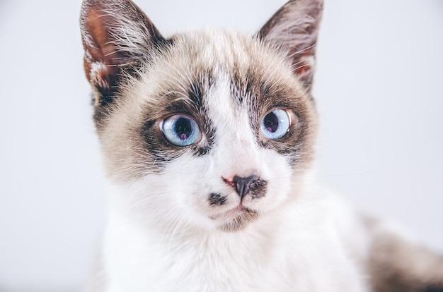 Close do rosto marrom e branco de um lindo gato de olhos azuis Foto gratuita