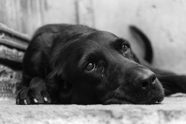 Close em tons de cinza de um cachorro preto fofo deitado no chão Foto gratuita