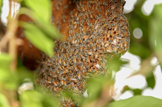 Close-up abelha em favo de mel na natureza na tailândia Foto Premium