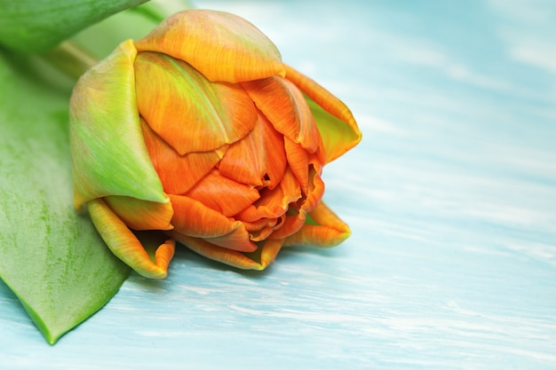 Close-up alaranjado de florescência da tulipa em um concreto azul Foto Premium