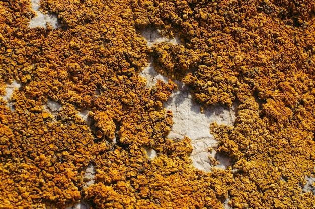 Close-up alaranjado do líquene em uma rocha. textura natural. Foto Premium