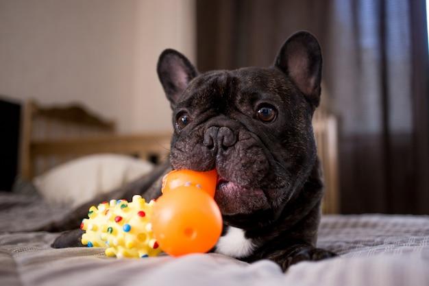 Close-up bulldog francês tigrado brincando com seus brinquedos na cama Foto Premium