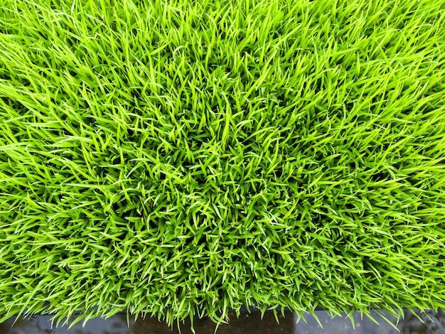 Close-up cor verde de brotos de arroz, vista superior Foto Premium