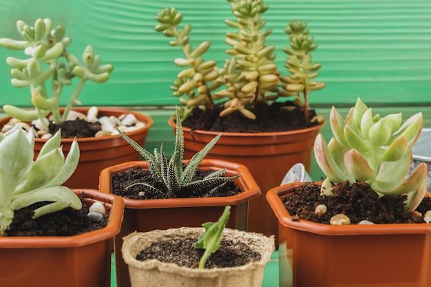 Close-up da coleção de plantas suculentas em casa na mesa de madeira Foto Premium