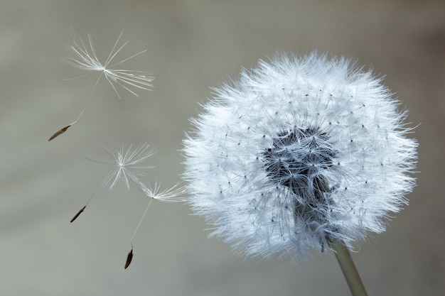 Close-up dandelion Foto Premium