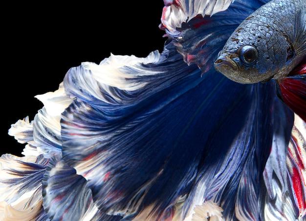 Close-up de bettafish em preto Foto Premium