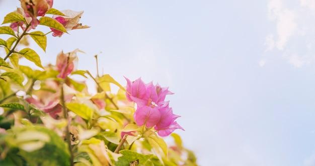 Close-up, de, bonito, cor-de-rosa, buganvílias, flores, contra, a, céu azul Foto gratuita