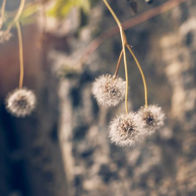 Close-up, de, branca, dente-de-leão, flores Foto gratuita