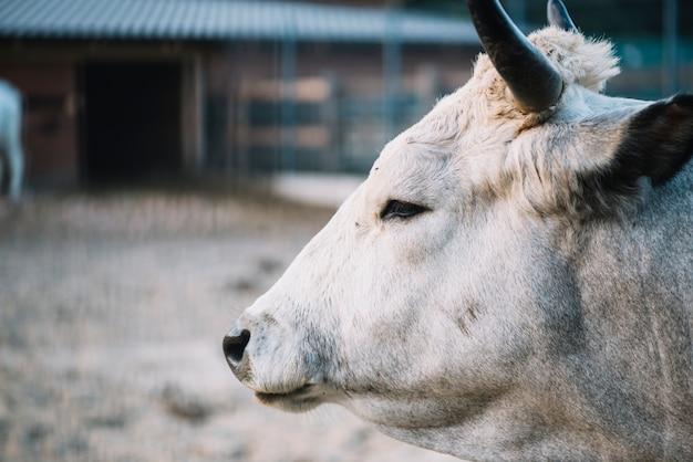 Close-up, de, cabeça vaca Foto gratuita