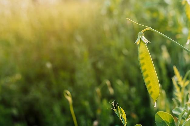 Close-up de casca de ervilha com espaço de cópia Foto gratuita