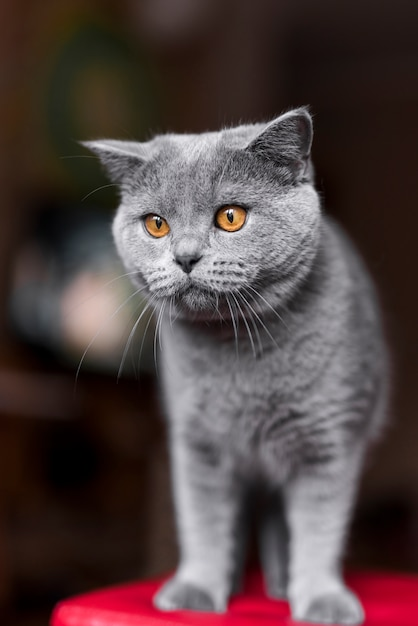 Close-up, de, cinzento, britânico, shorthair, gato Foto gratuita