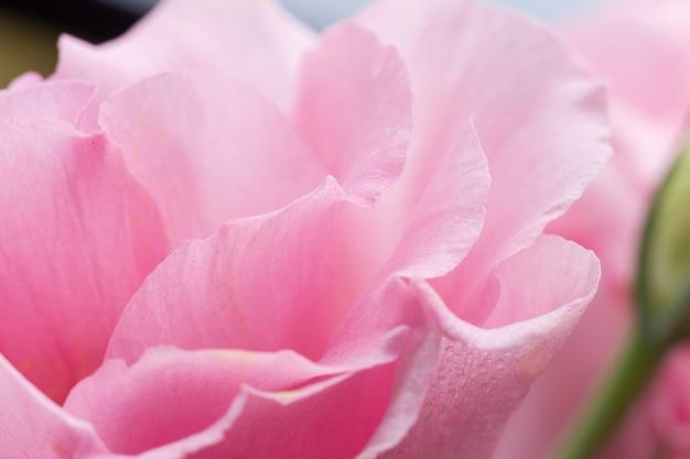 Close-up, de, cor-de-rosa levantou-se, com, fundo borrado Foto gratuita