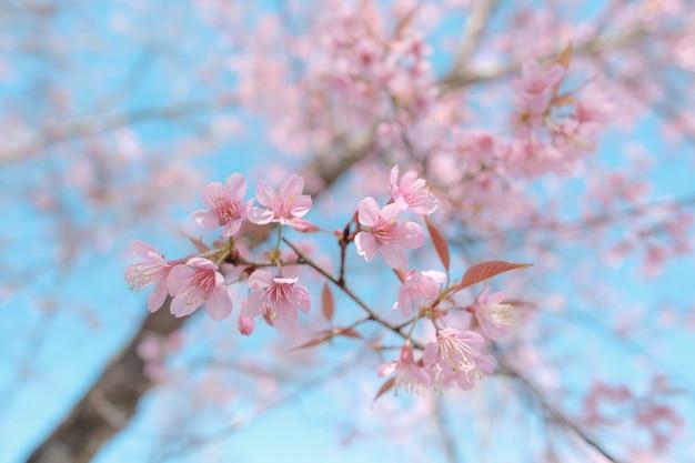 Close-up de flor de cerejeira durante o festival hanami Foto Premium