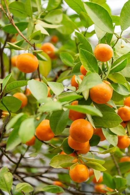 Close-up de frutos maduros de tangerina de ogange crescendo na árvore Foto Premium