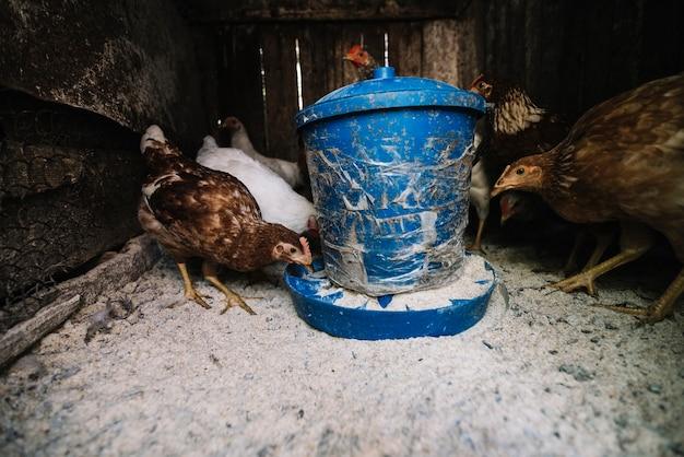 Close-up, de, galinhas, alimentação, em, avicultor, alimentador, ligado, a, fazenda Foto gratuita