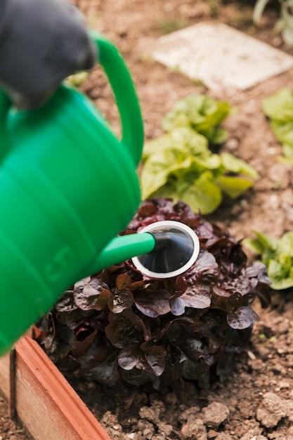 Close-up, de, jardineiro, aguando, a, planta, com, verde, lata molhando Foto gratuita