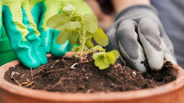 Close-up, de, macho fêmea, jardineiro, plantas, a, seedling, em, pote Foto gratuita