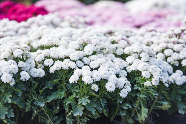 Close-up de monte flor crisântemo branco bela textura de fundo / crisântemo flores florescendo decoração festival celebração Foto Premium