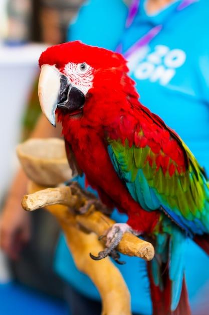 Close-up de papagaio arara escarlate colorido e mão de mulher Foto Premium