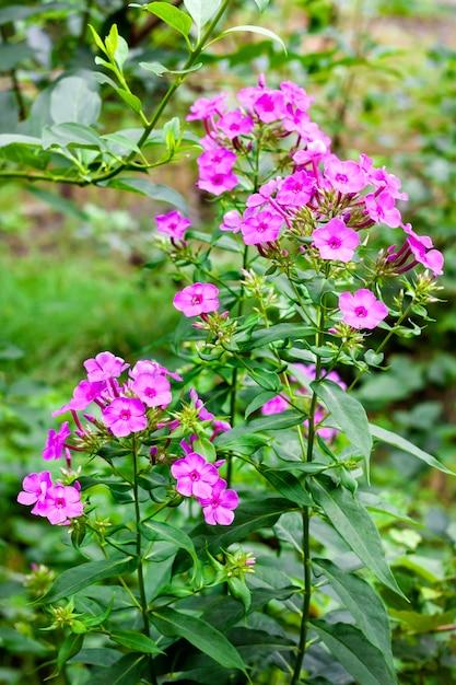 Close up de phlox roxo na superfície da folhagem verde Foto Premium