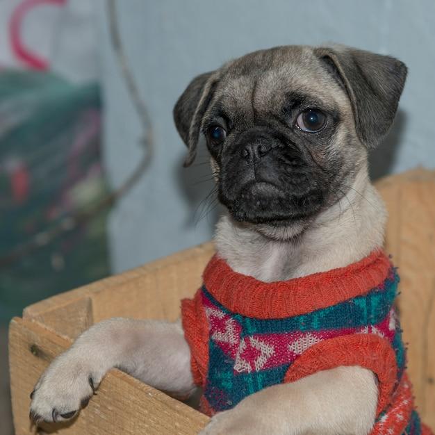Close-up, de, pug, cachorro, suéter desgastando, san miguel allende, guanajuato, méxico Foto Premium