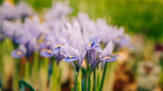 Close-up, de, roxo, íris, flor, jardim Foto gratuita
