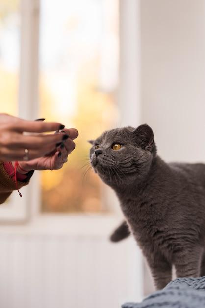 Close-up, de, shorthair britânico, gato, com, proprietário Foto gratuita