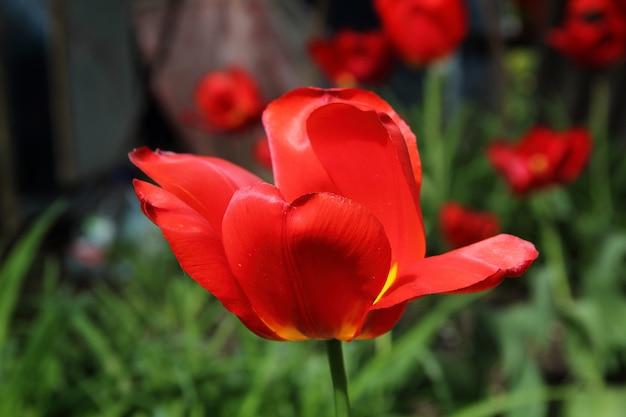 Close-up de tulipa vermelha e amarela única Foto Premium