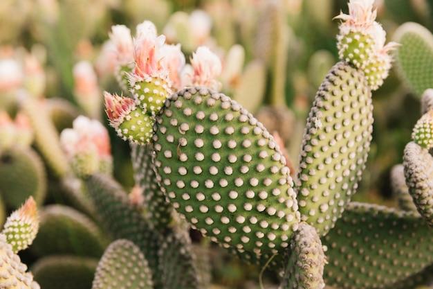Close-up, de, um, cacto pera espinhosa Foto gratuita