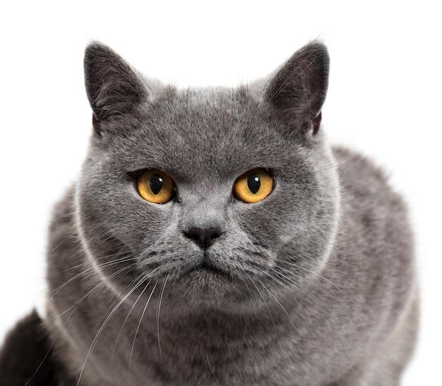 Close Up De Um Gato Britânico De Pêlo Curto Foto Premium