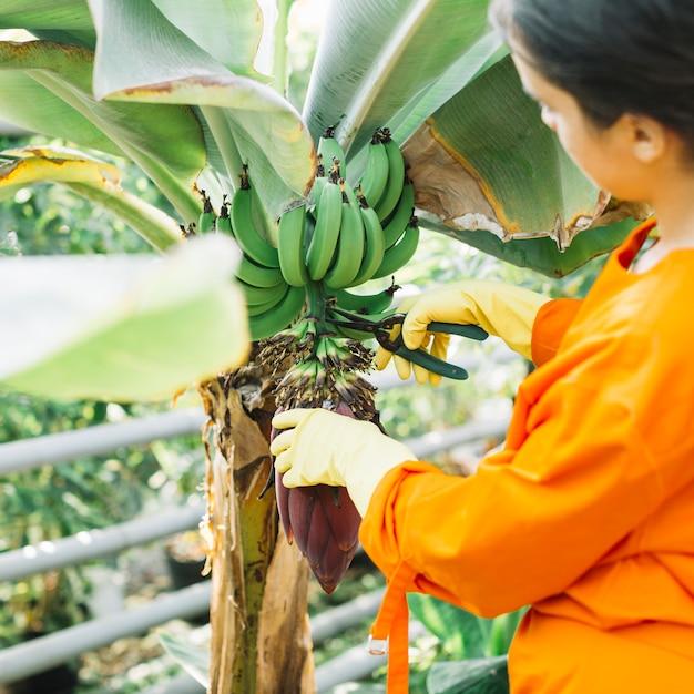 Close-up, de, um, jardineiro, corte, grupo bananas, com, secateurs Foto gratuita