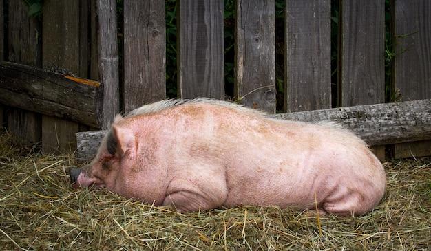 Close up de um porco Foto Premium