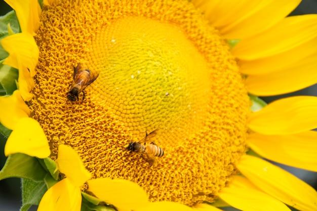 Close-up de uma abelha pendurada em um girassol. eles estão comendo água do pólen do girassol. Foto Premium