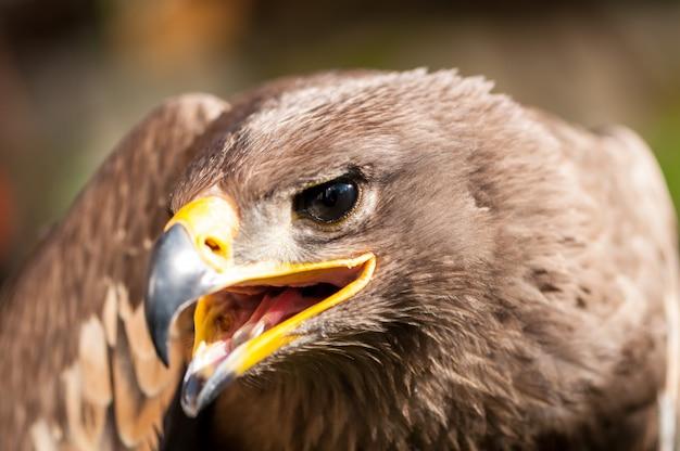 Close-up de uma águia de estepe (aquila nipalensis). retrato de ave de rapina. Foto Premium