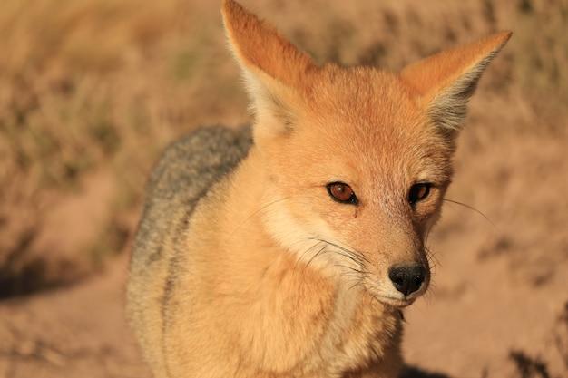 Close-up de uma bela raposa andina no deserto de atacama Foto Premium