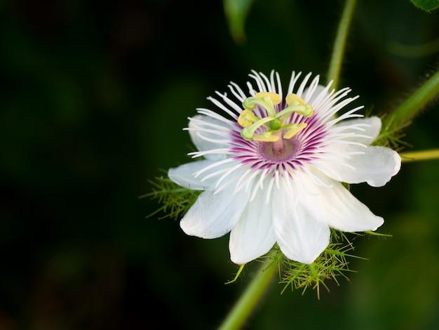 Close-up de uma flor de passiflora foetida l. Foto Premium