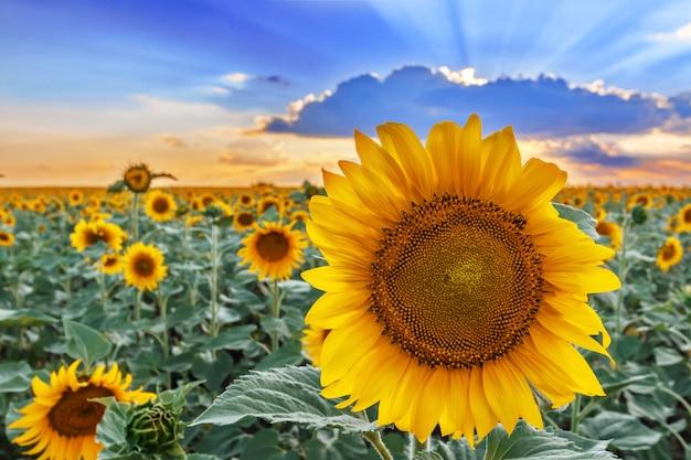 Close up de uma flor do girassol na perspectiva de um campo e de um céu. Foto Premium