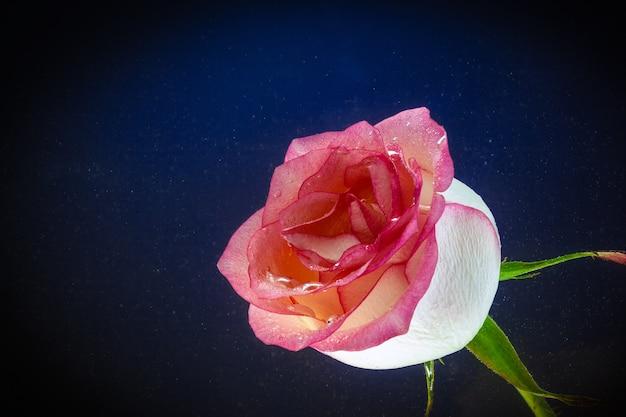 Close-up de uma rosa fresca, coberta com gotas de água no preto Foto Premium