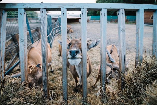 Close-up, de, vaca, pastar, feno, em, a, celeiro Foto gratuita