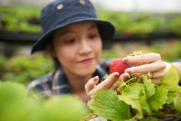 Close-up do jovem agricultor asiático segurando um morango grande, foco em frutos vermelhos maduros Foto gratuita