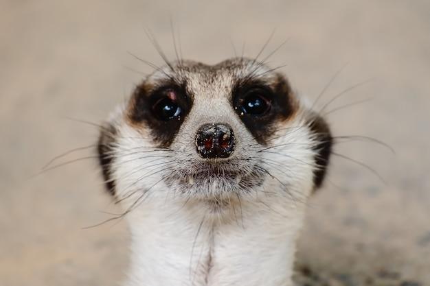 Close-up do rosto de meerkat Foto Premium