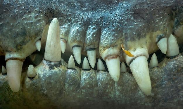 Close-up dos dentes de crocodilo. Foto Premium